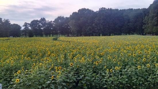 Griswold, CT: Sunflowers!!