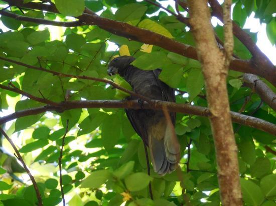 Praslin, Seychellerna: le kato noir