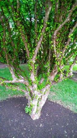 Santo Domingo de Heredia, Costa Rica: Jabuticaba arbre a fruits poussant sur le tronc