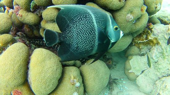 Kralendijk, Bonaire: Beautiful large angel fish. Striped moray eel within the coral behind it & a lion fish.
