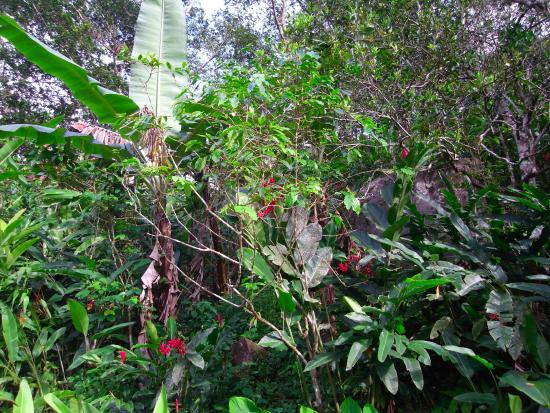 Vieux-Habitants, Guadalupe: Caféier