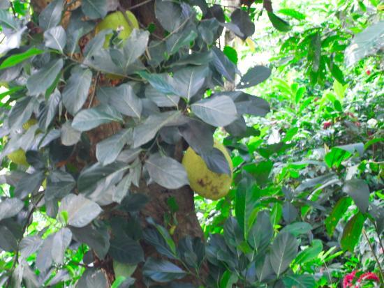 Vieux-Habitants, Guadalupe: Jacquier