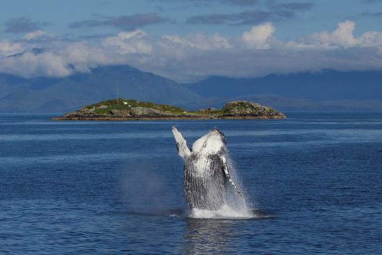 Prince Rupert, Canada: Breaching Humpback Whale