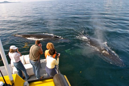 Prince Rupert, Canada: These Humpbacks swam right up to our vessel. We had our boat shut down while they swam all aroun