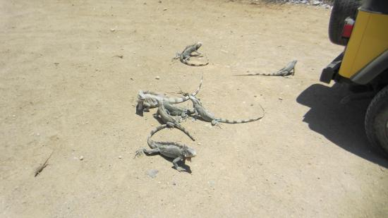 Washington-Slagbaai National Park, Bonaire: Big lizards