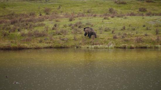 Yellowstone Association - Private Tours: Male grizzly after a swim.