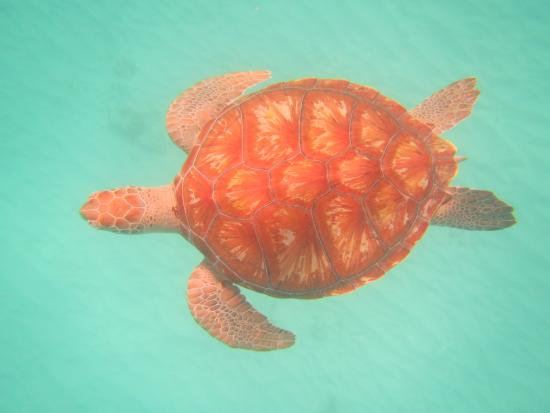 Barbados Beach Club: Swimming with Sea Turtles - excellent experience
