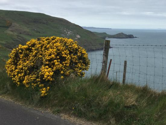 Yellow spring flowering bush is gorse also called furze or whin it causeway coastal route yellow spring flowering bush is gorse also called furze or whin mightylinksfo