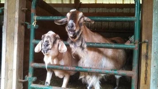 Fidalgo Island, Вашингтон: Happy Goats