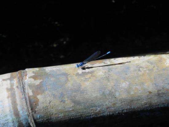 Fronteras, Guatemala: libélula azul