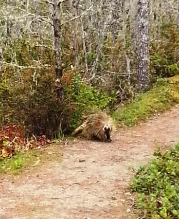 Ocean Park, WA: porcupine on the trail