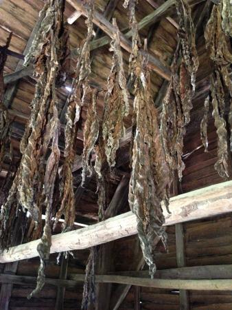 Saint Mary's City, MD: Drying tobacco