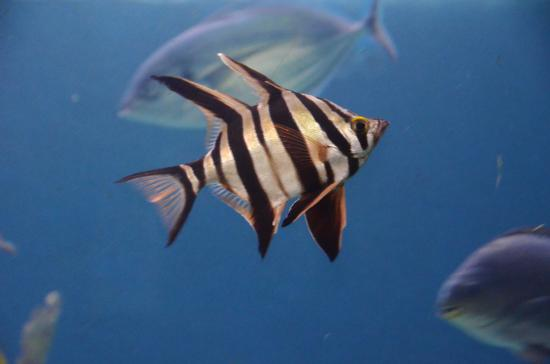 Striped fish images final, sorry