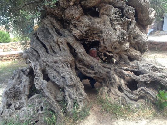 Olive Tree Museum