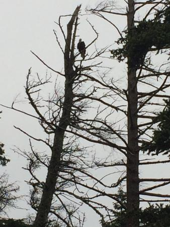 Tsa-Kwa-Luten Lodge: Eagles in abundance in the beautiful trees around us!