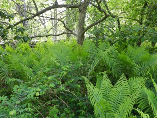 Carlisle, Pensilvania: Beautiful ferns