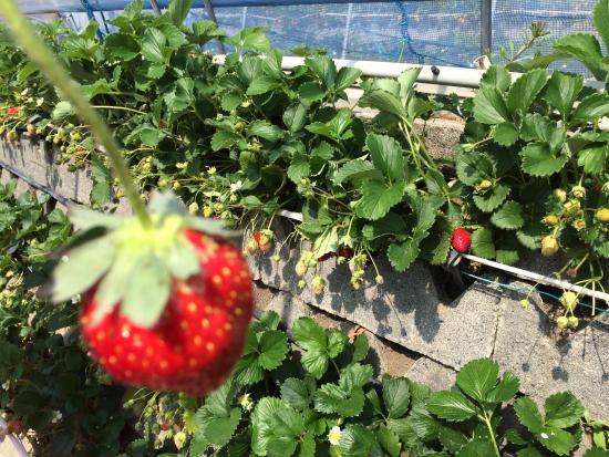 Mt.Kuno Strawberry Picking Photo