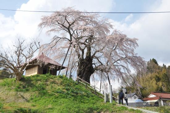 Ageishi Fudo Cherry Blossoms