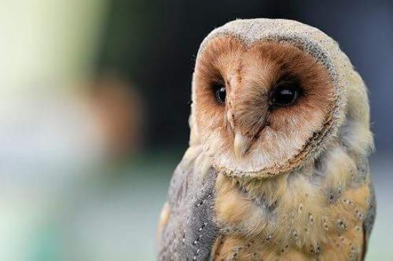 The Feathered Nest: barn owl