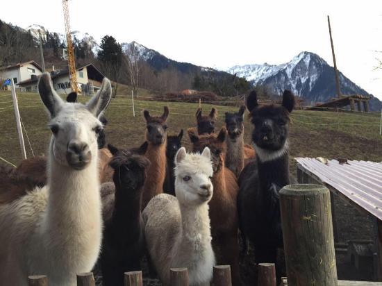 Triesenberg, Liechtenstein: ein Teil unserer Herde