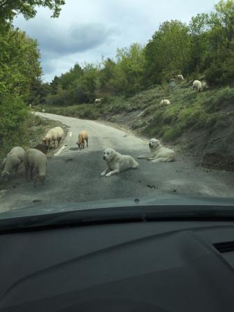 Utelle, France: The hearing Labradors