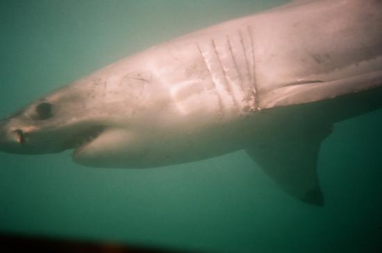 Gansbaai, Güney Afrika: Sharks come right up to your cage