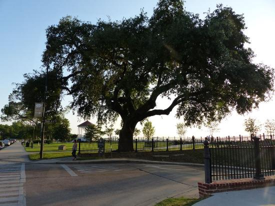 Natchez, MS: Large Tree at Bluff Park