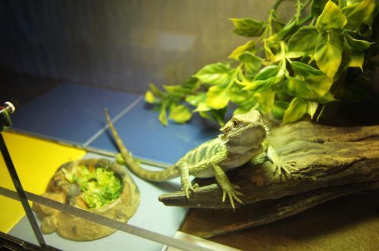 Enid, OK: Breaded Dragons!