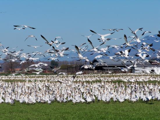 Stanwood, WA: Port Susan Snow Goose Festival