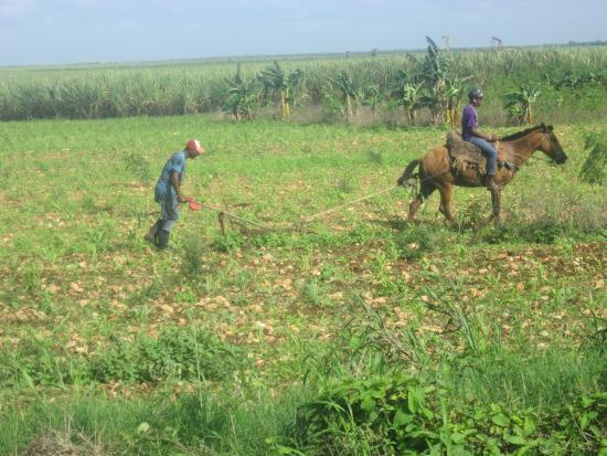 Bayahibe, Dominican Republic: aratro haitiano