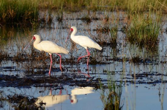 Kasane, Botswana: Spoonbilled