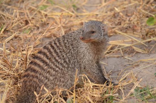 Kasane, Botswana: Banded Mongoose