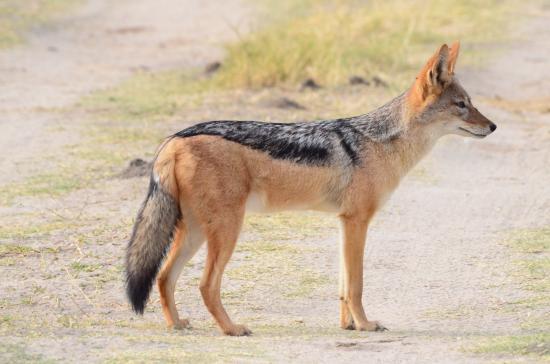 Kasane, Botswana: Jackle