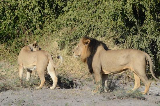 Kasane, Botswana: Lion