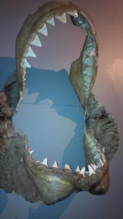 Russell Museum: Shark's jaw. Scary