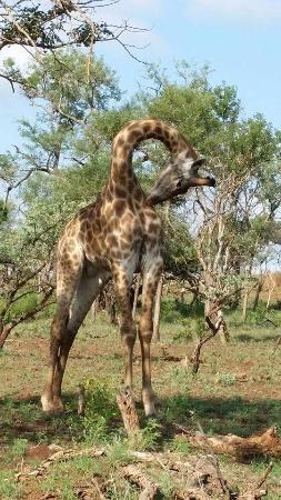 Umdloti, Южная Африка: Giraffe at Zululand Rhino reserve
