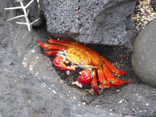 Santiago, เอกวาดอร์: Sally lightfoot crab