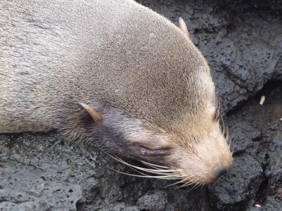 Santiago, เอกวาดอร์: Fur seal