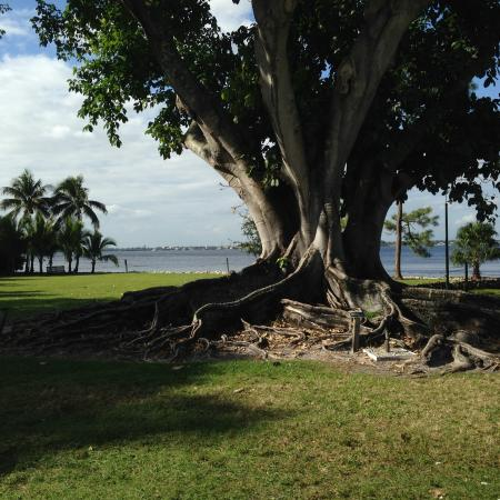 Edison Park: Rubber tree on a coast