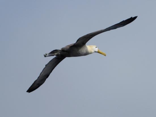 Espanola, เอกวาดอร์: Wave albatross - Española