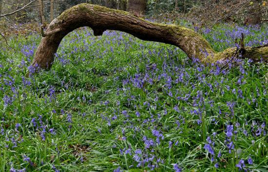 Saltwells Local Nature Reserve : Bluebells