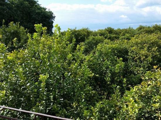 Agriturismo Il Limoneto: Surrounded by lemon trees