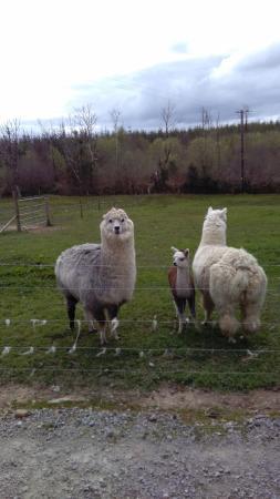 Tulla, Irlande : Amazing Alpacas