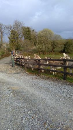 Tulla, Irlande : Army of Donkeys :)