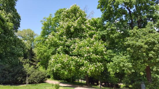 Brno, Tjeckien: Chestnut trees