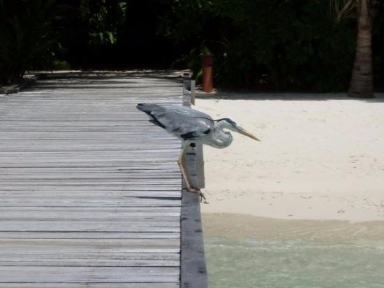 Остров Курамати: Local wildlife