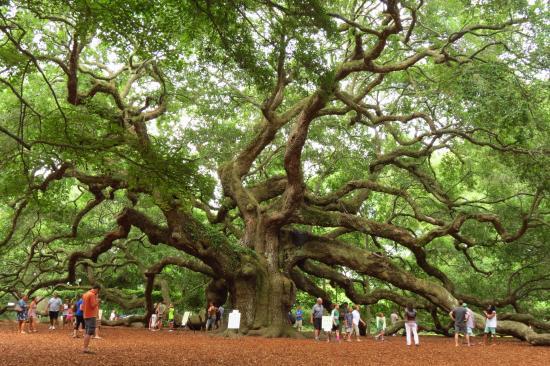 The Majestic Angel Oak Tree 'Perspective' by Anita Adams