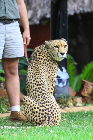The Farm Inn: Michangelo, the cheetah who is available for photos or meet & greets.