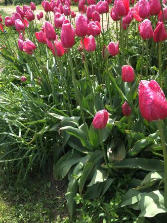 Veldheer Tulip Garden: photo0.jpg