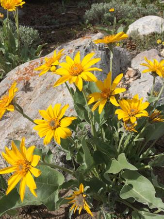 Parque Nacional Great Basin, NV: Mountain Daysies